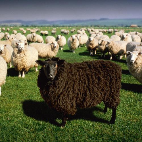 blacksheep-a-black-sheep.png